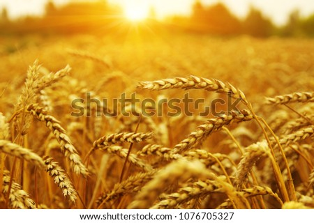 Wheat field on sun. Harvest and food concept #1076705327
