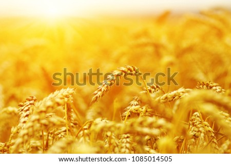 Wheat field on sun. Harvest and food concept #1085014505