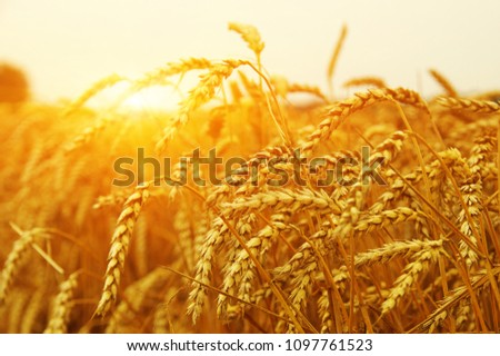 Wheat field on sun. Harvest and food concept #1097761523