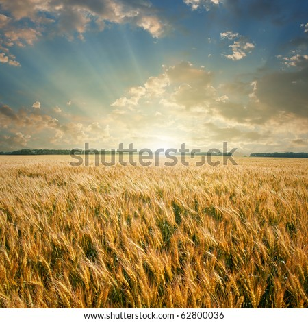 wheat field on sunset #62800036