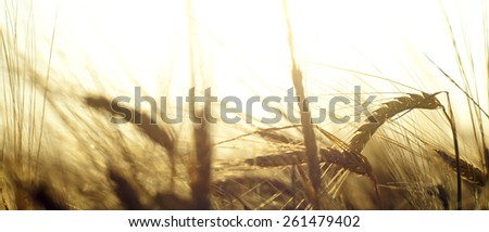 Wheat field on the background of the setting sun - Shutterstock ID 261479402