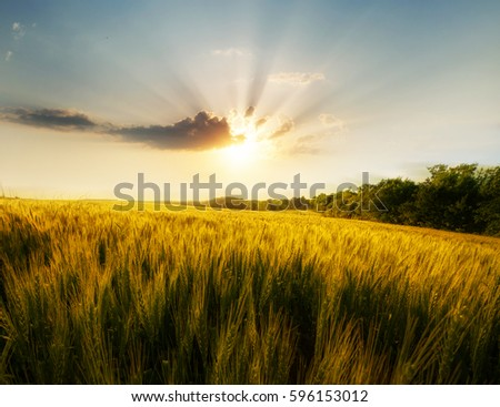 Wheat field on the background of the setting sun #596153012