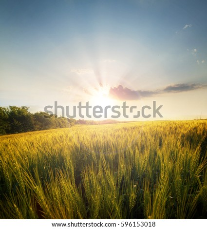 Wheat field on the background of the setting sun #596153018