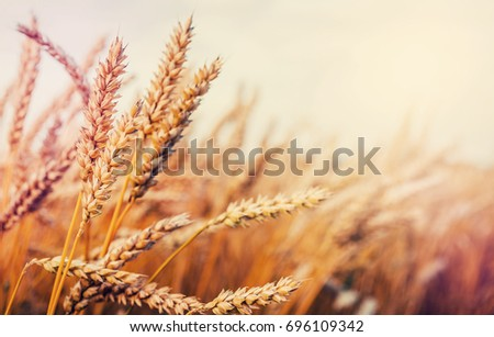 wheat field on the background...