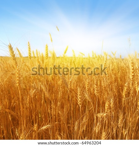 Wheat field on the sunny day.