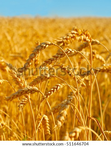 Wheat field ready for crop at sunset. Ukraine