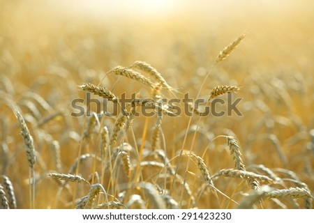 Wheat field ready for harvest during late afternoon #291423230