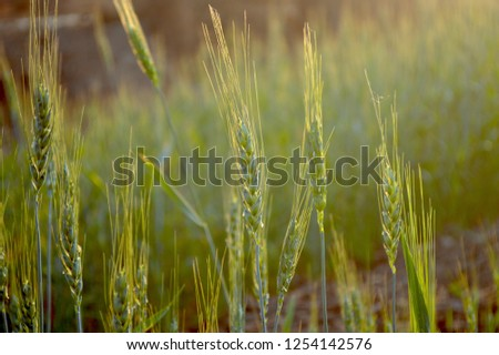 Wheat field, Rural Scenery under shining sunlight. #1254142576