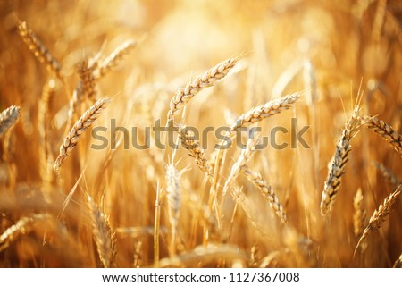Wheat field. Rural Scenery under Shining Sunlight. A background of the ripening wheat. Rich harvest. #1127367008