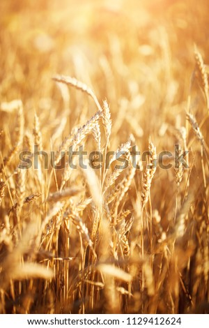 Wheat field. Rural Scenery under Shining Sunlight. A background of the ripening wheat. Rich harvest. #1129412624