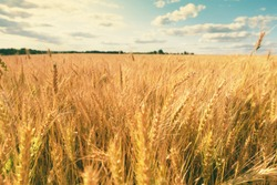 Wheat field. Scenic landscape of golden ripe wheat crop under sunlight. Rich harvest. Agriculture