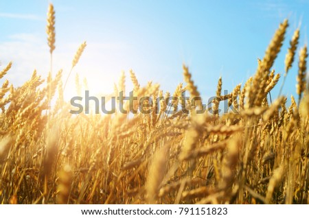 Wheat field sunny day under blue sky #791151823