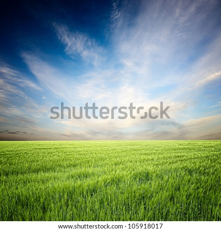 wheat field, the blue sky and white clouds