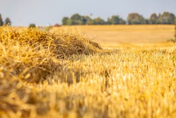 Wheat field. The natural background of a mown wheat field on a sunny day. Background of ripe fields of yellow wheat.