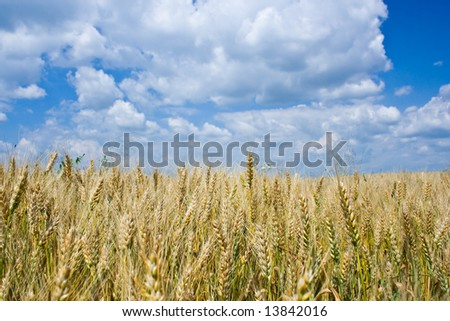 Wheat field under blue sky with white clouds #13842016