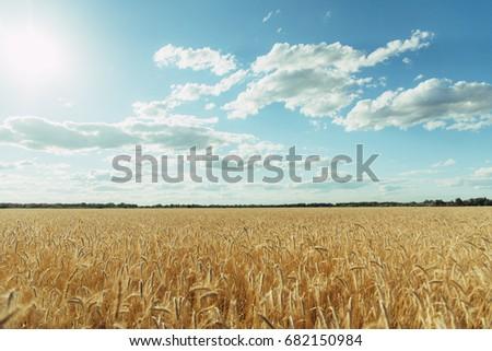 Wheat field Volgograd #682150984