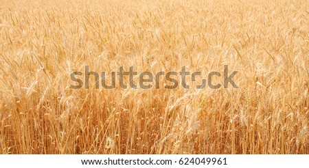 Wheat field, wheat background #624049961