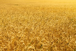 Wheat field. Wheat ears in the hand of the farmer. Rye in the field before harvesting. Farming. Ears of close-up. Golden rye. Dry stalks of cereals.