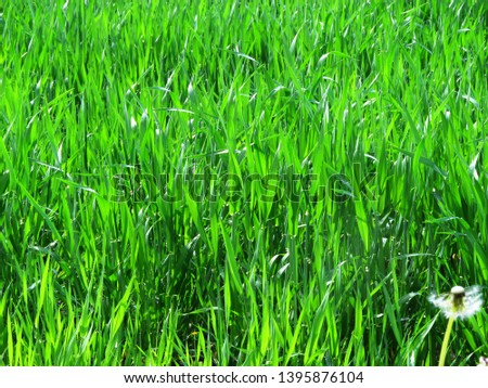 wheat field, wheat field, wheat, green background, young wheat on the field #1395876104