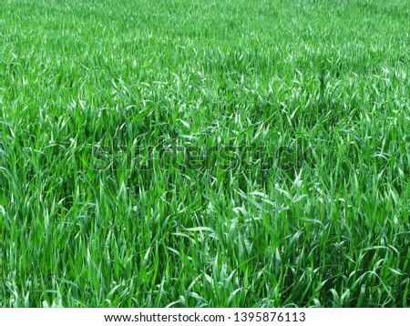 wheat field, wheat field, wheat, green background, young wheat on the field