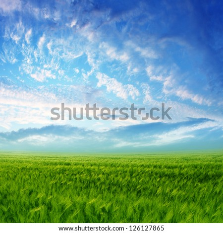 Wheat field with blue sky and white clouds
