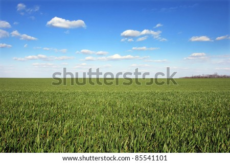Wheat field with blue sky. View of plain field of green wheat with blue sky and white clouds.