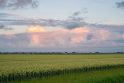 Wheat field with distant storm clouds that turn pink during sunset