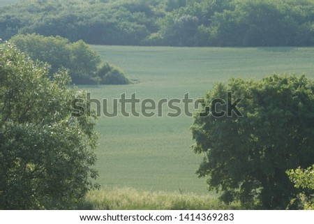 Wheat field with field trees