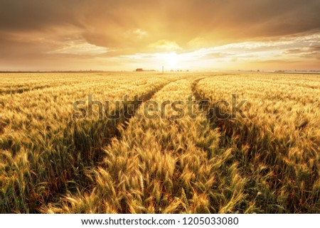 Wheat field with gold sunset landscape, Agriculture industry #1205033080