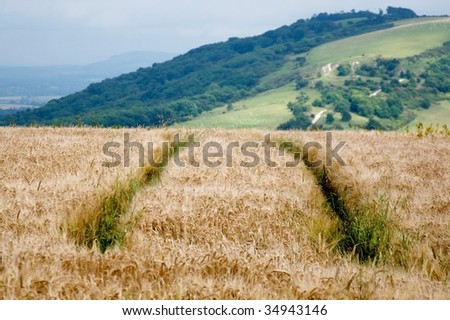 Wheat field with green tracks on the Sussex downs, England.