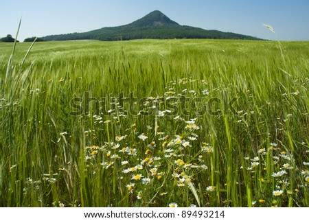 Wheat field with herbal flowers