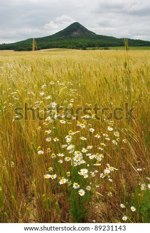Wheat field with herbal flowers at summer