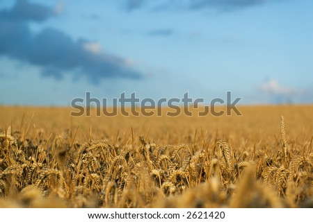 Wheat field with nice small DOF