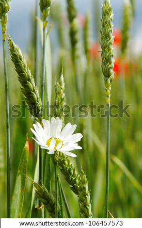 Wheat field with poppies and daisy.