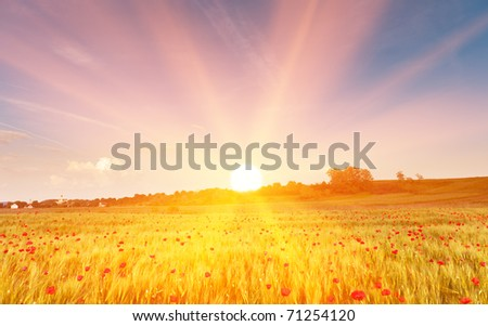 Wheat field  with poppy flowers at sunset, in golden sun rays.