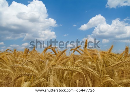Wheat field with sky and clouds
