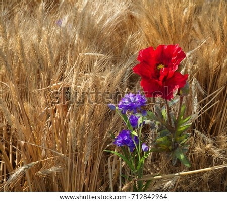 Wheat field with spikelets, poppies and cornflowers close-up. #712842964