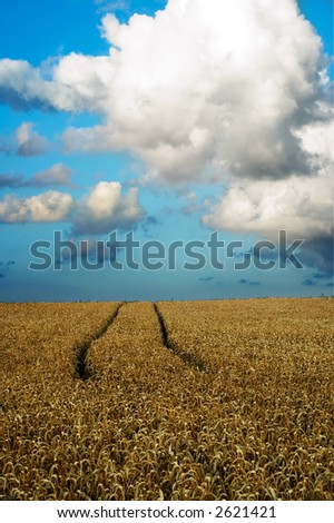 Wheat field with traces from tractor
