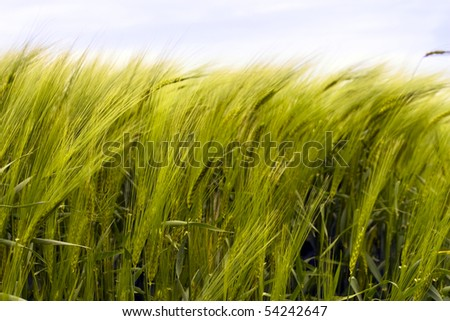 Wheat fields, ears sway in the wind