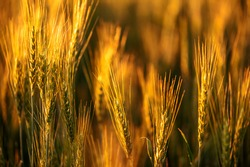Wheat fields. Juicy fresh ears of young green wheat on nature in a summer field close up macro. Beautiful Nature Sunset Landscape. Rural landscapes in shining sunlight.