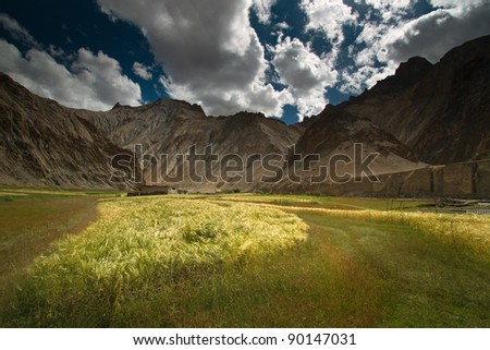 Wheat filed landscape located in Marhka Valley, Leh, India. Amazing landscape full of wheat.