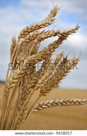 Wheat from a harvested field