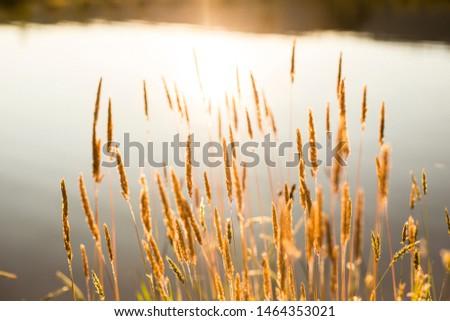 Wheat glistening in the sun at sunset in rural Australia.