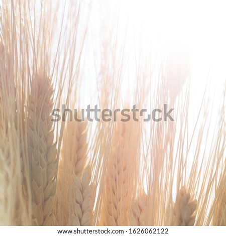 wheat grain and stalks for harvest