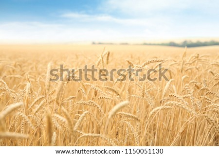 Wheat grain field on sunny day. Cereal farming #1150051130