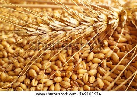 Wheat grains and ears as agricultural background for harvesting season