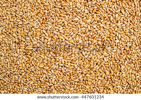 Wheat grains as agricultural background. Wheat grains texture. Close up top view. Suitable as a backdrop for the projects on art, creativity, imagination and design. #447601234