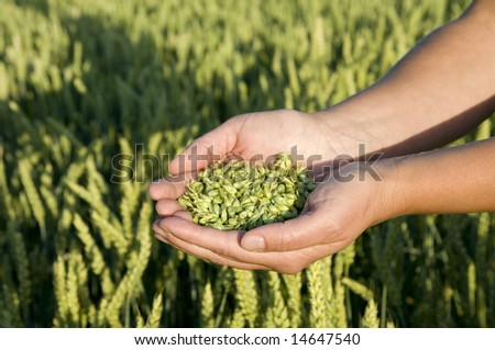 Wheat grains in hands.