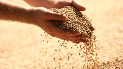 Wheat grains in hands at mill storage. Close up. Good harvest in the hands of farmers, big pile of grain.