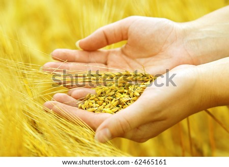 Wheat grains in the hands